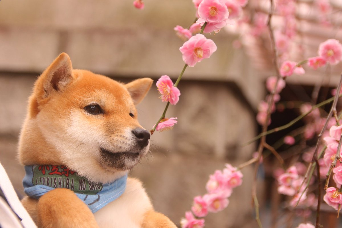 【秋葉原】「小豆柴(あずきしば)の郷」世界最小!モフモフの柴犬と触れ合ってみました◎の画像1