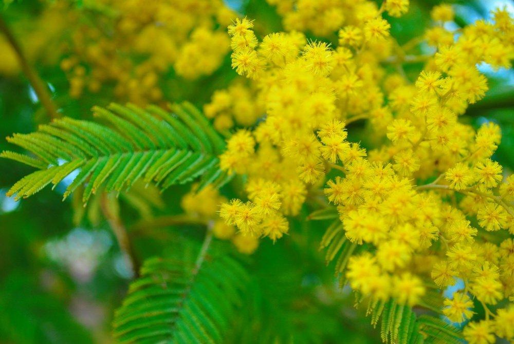 подборка фото мимоза цветок фото на рабочий бесит