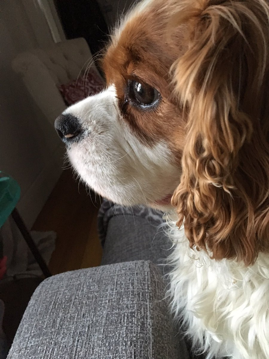 Congrats to all me Charlies #NationalCharlieDay - sending slurpy kisses to me pack #LoveYourPetDay #cavpack #CavPack #cavalierkingcharles #DogCelebration #DogsOfTwitter #dogsoftwitter @gapyear2016inc @dogcelebration #cute<br>http://pic.twitter.com/Q3BWO2T8pD