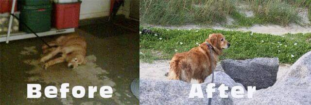 MadZ Pup - the before- what I saw when I got the call to go save her. The after, I took her to the beach to show her how her life would be like going forward. #MadZ #dogsoftwitter  #rescuedog #Goldenretrievers #GRC<br>http://pic.twitter.com/XlOt8GGNJP