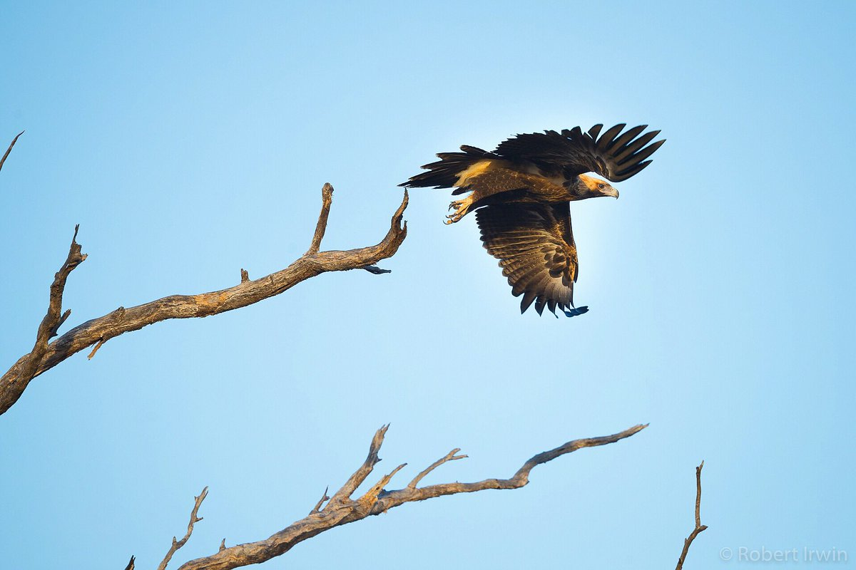 Robert Irwin On Twitter Australia S Largest Bird Of Prey The Wedge Tailed Eagle So Cool To See This Massive Bird Taking Off From A Dead Tree In Outback Queensland Https T Co Nrfypiszt8