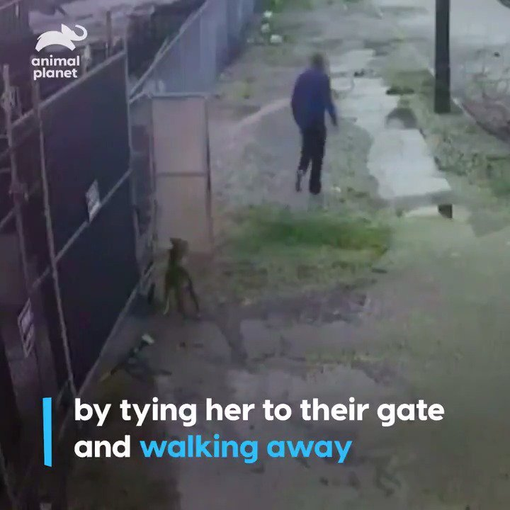 Surveillance footage captured the heartbreaking moment when a man abandoned his dog by leaving it tied to a @vrc_pitbull fence. #PitBullsandParolees