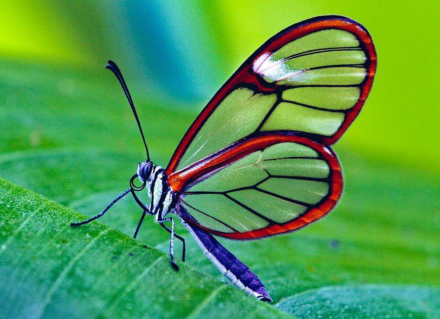 Glasswing Butterfly 🦋 Greta oto #bug #bugs #insect #insects #butterfly #butterflies #butterflys #butterflylovers #butterfly🦋 #entomology #nature #naturephotography #wildlife #wildlifephotography #specimenworld