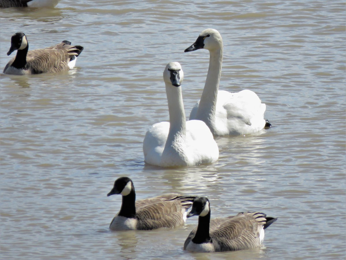 I thought #CanadaGeese were large birds until I saw them next to #TundraSwans. #nature #birds #migration