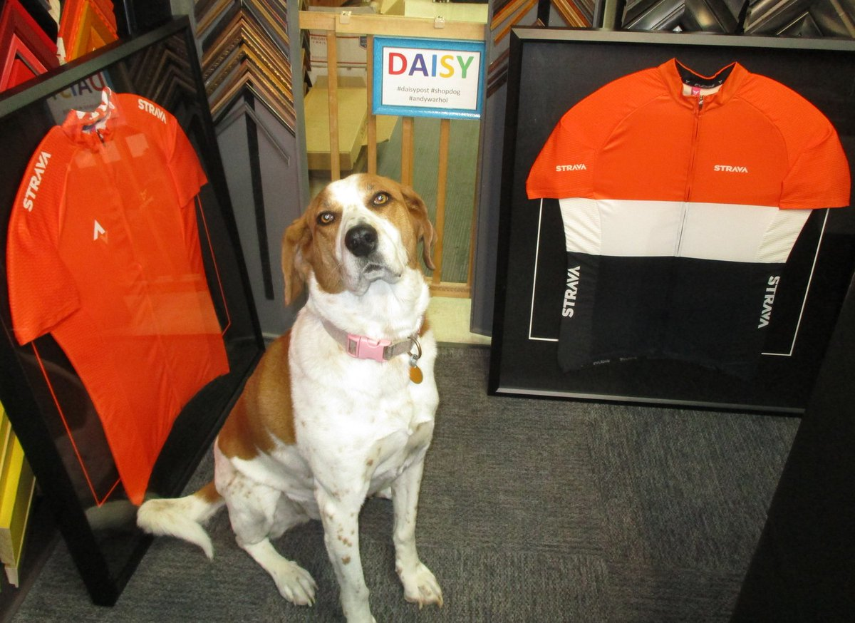 Another pose by Daisy, This time between two bicycle jerseys.  #daisypost #shopdog #bicyclejersey #customframeit<br>http://pic.twitter.com/FcilcryfzU