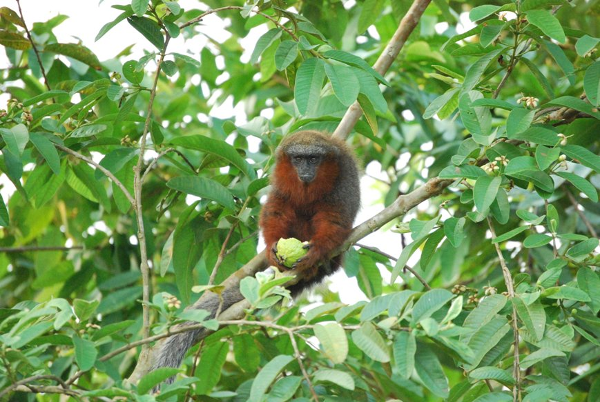 INDIRECT VICTIMS OF MEAT #2   The Caquetá Tití Monkey of Colombia is critically endangered by hunting, livestock farming, and ranching.   Primates like us driven to extinction so that humans can eat other animals, when all we need to thrive is plants.  #GoVegan this #Veganuary <br>http://pic.twitter.com/RlmQlWS0lo