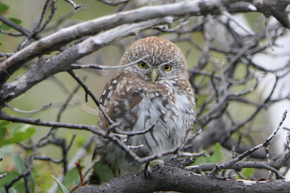 Trail buddy in #Patagonia Torre del Paine  Austral Pygmy Owl with laser stare on O-Circuit. #birds #birding <br>http://pic.twitter.com/jCO7rpnLoe