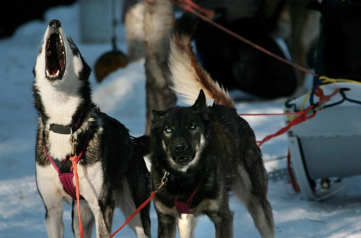 Iditarod dog dies after finishing race...