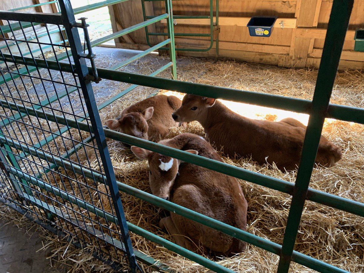 The rescued baby bulls are home! #Ditchdairy #govegan #jerseyboys<br>http://pic.twitter.com/ilru1FPudZ