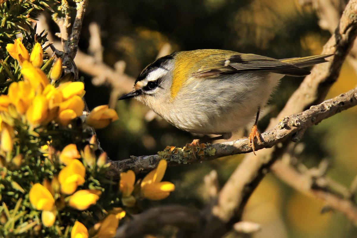 Firecrests and Goldcrests stole the show for me today . They were at Dungeness in some force  and I was lucky enough  to see firecrests at the RSPB reserve , at the moat , by the lighthouse and near Hanson hide ARC . <br>http://pic.twitter.com/oyOHCF0eaY
