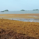 Image for the Tweet beginning: #Sargassum #Guyane