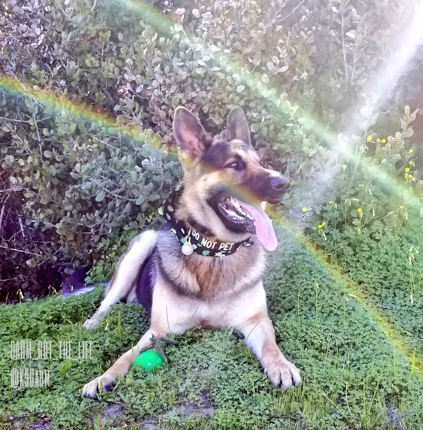 #HappyStPatricksDay #StPatricksDay took thos pic of the #moosedog and it would seem we may be amongst the fae  #K9Garm #SARK9 #dogsoftwitter #dog #dogs #germanshepherd #gsd<br>http://pic.twitter.com/gMRQZqxJja