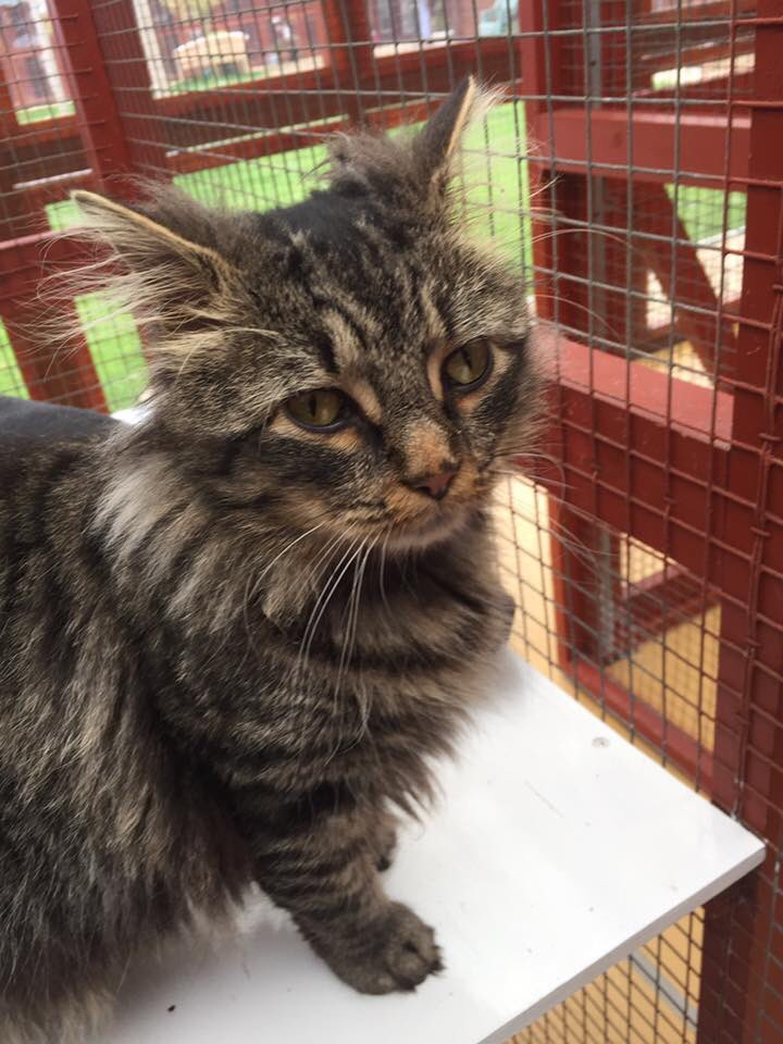 So 2 years ago mummy and daddy saw a post on @cherwellcats with me in it. I had been found abandoned on the streets in Banbury . They went to visit me and soon adopted me. Look how scraggly I was. Now I'm all grown up  #AdoptDontShop #chcatsoftwitter<br>http://pic.twitter.com/iE3k4XNPbP