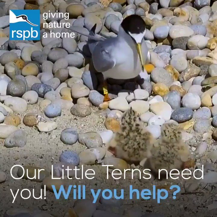 📣 Our little terns need you! Will you help? We're on the lookout for volunteers this summer in Norfolk, Suffolk & Essex.  🏖️ Help protect these rare seabirds during their breeding season on East Anglia's beaches – ✉️ email sarah.gelpke@rspb.org.uk for more information.