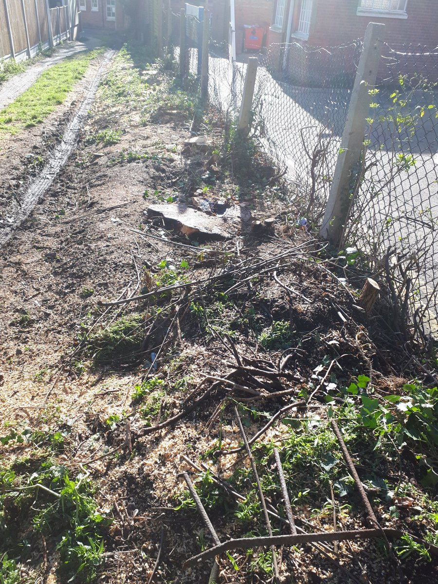 Essex Tree Stump Grinding removing sycamore tree stumps in preparation for a new hedge, in Maldon, Essex. …
