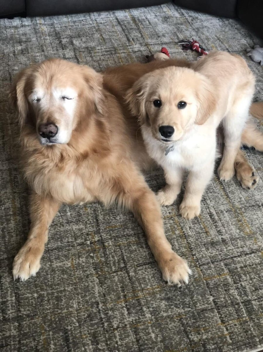 This is Charlie and Maverick. Charlie had his eyes removed due to glaucoma, but then Maverick came along as his little helper. Now they're doing amazing. Both 14/10