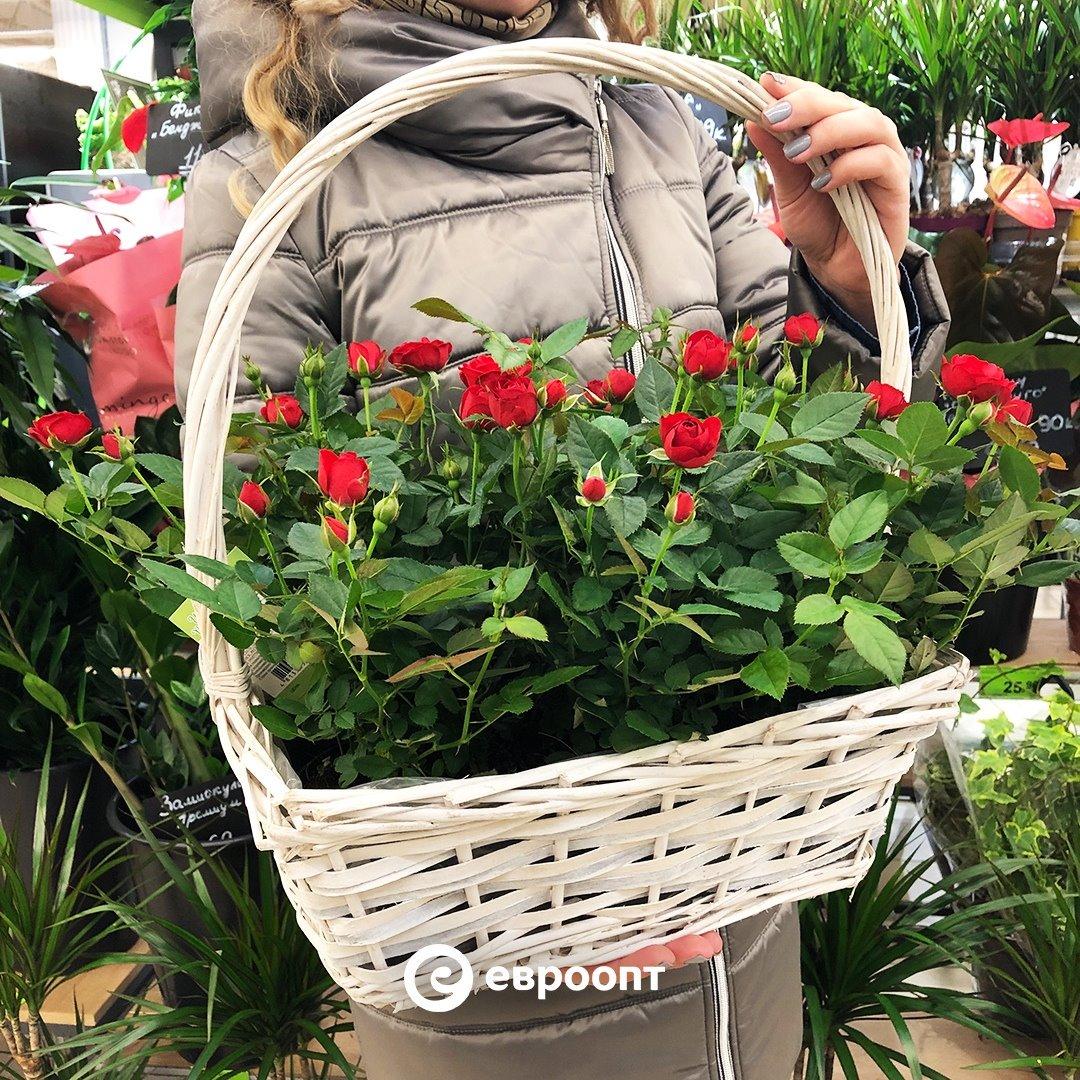 Корзинка с аккуратными розами в горшках – всегда уместный подарок. 🌹   🌿 Подписывайтесь на страничку наших цветочных островков в Instagram: https://t.co/sgiSWnu11x  #евроопт #цветы #розы #корзинка #декор #интерьер https://t.co/ze0ZygLfKY