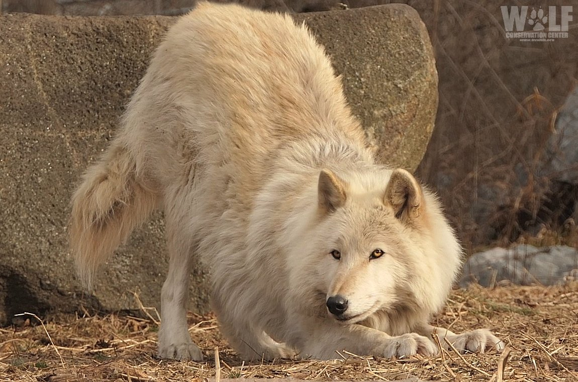 When seeking to play, wolves will dance and bow playfully. Playtime can also include a game of chase, jaw sparring, and varied vocalizations.  For wolves, playtime isn't only fun, it strengthens family bonds and reaffirms social status within the pack.  http:// bit.ly/2CoxoKY  &nbsp;  <br>http://pic.twitter.com/ODwzleP5Yj