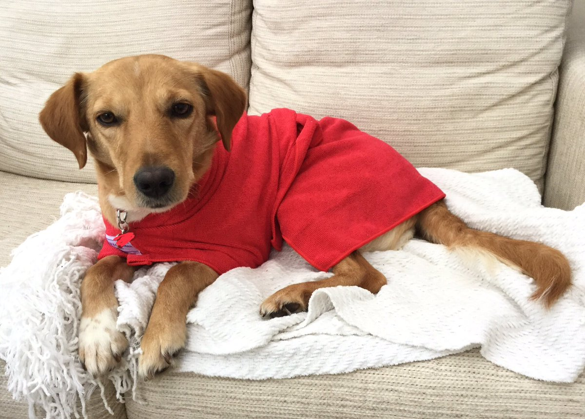 Got a bit wet in the garden. What do you think of my new bath robe? #DogsofTwitter #AdoptDontShop <br>http://pic.twitter.com/N21dfnO3sT