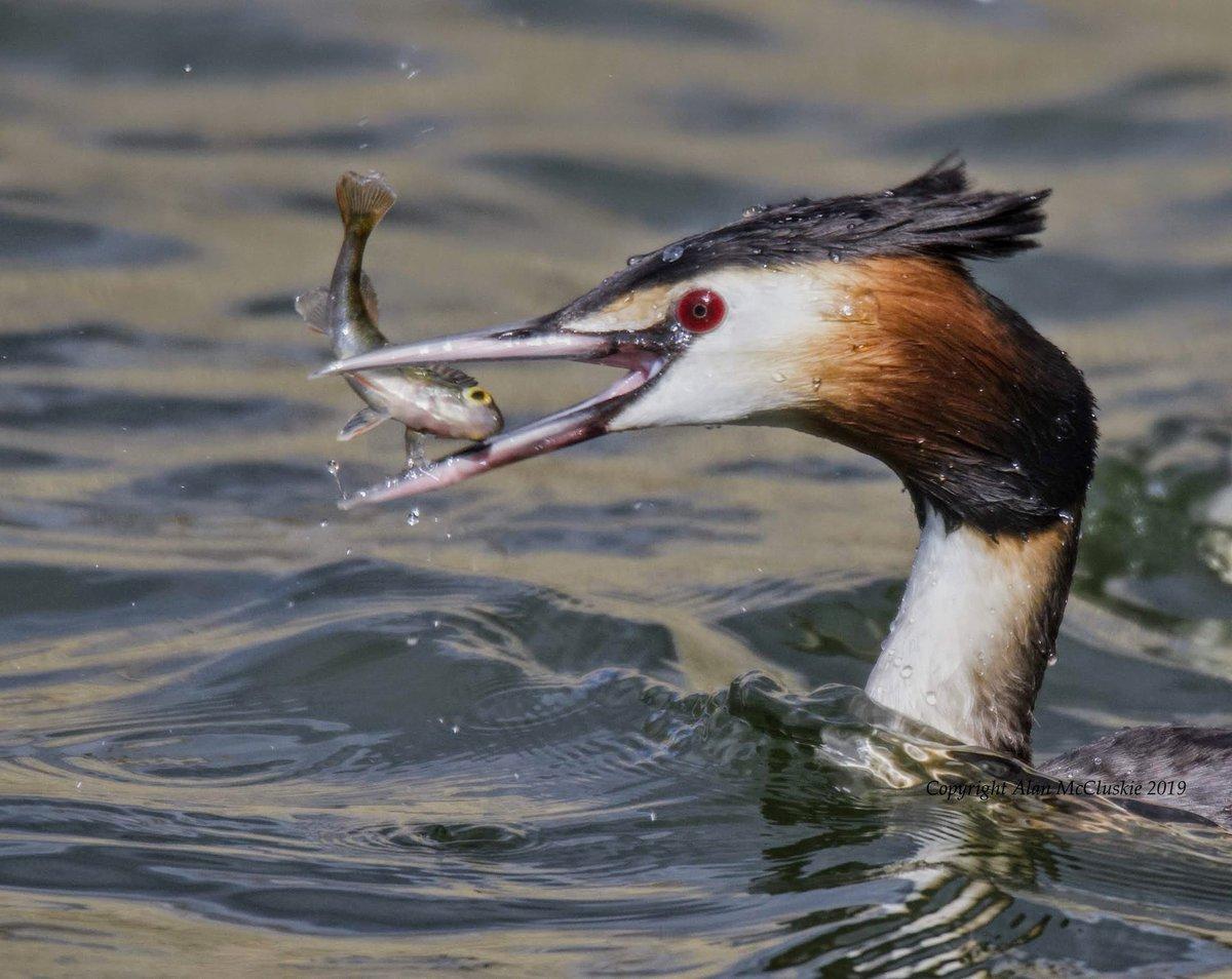 """Eye to eye"" Great Crested Grebe #birdphotography #birdwatching  #birds #nature #wildlife #grebes #TwitterNatureCommunity @NewNature_Mag @rawbirds @iNatureUK @BBCSpringwatch @WildlifeMag @NatureUK @Britnatureguide @Team4Nature"
