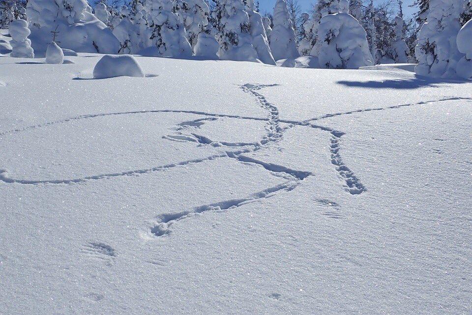 что следы росомахи на снегу фото вариант английского