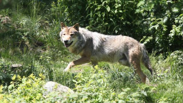 JUST IN: Trump admin to to strip gray wolves of endangered species protections http://hill.cm/mM2HDll