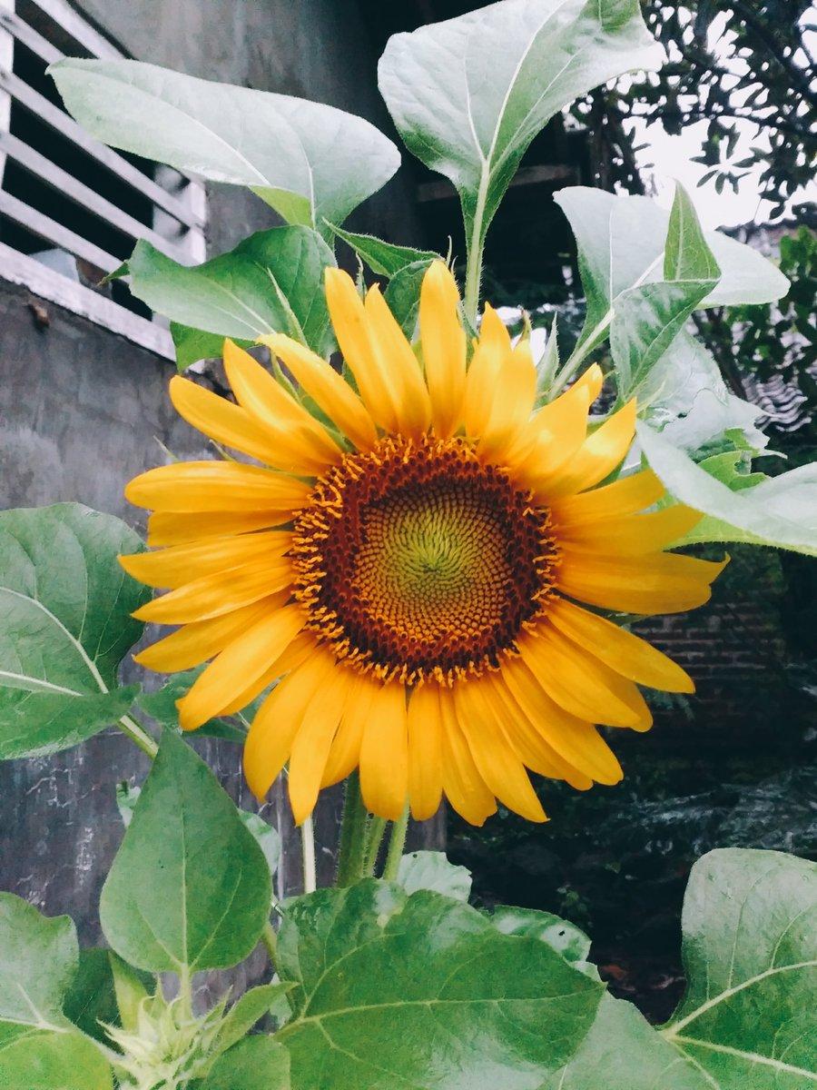 Heol On Twitter Thread Menanam Bunga Matahari Kebetulan Bunga Di Pict Itu Hasil Dr Aku Yg Pertama Kali Nanem Dan Hari Ini Bisa Mekar Cantik Kalian Yg Pertama Kali Ingin Mencoba