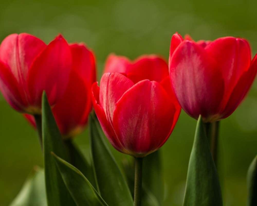 Тюльпаны большие картинки