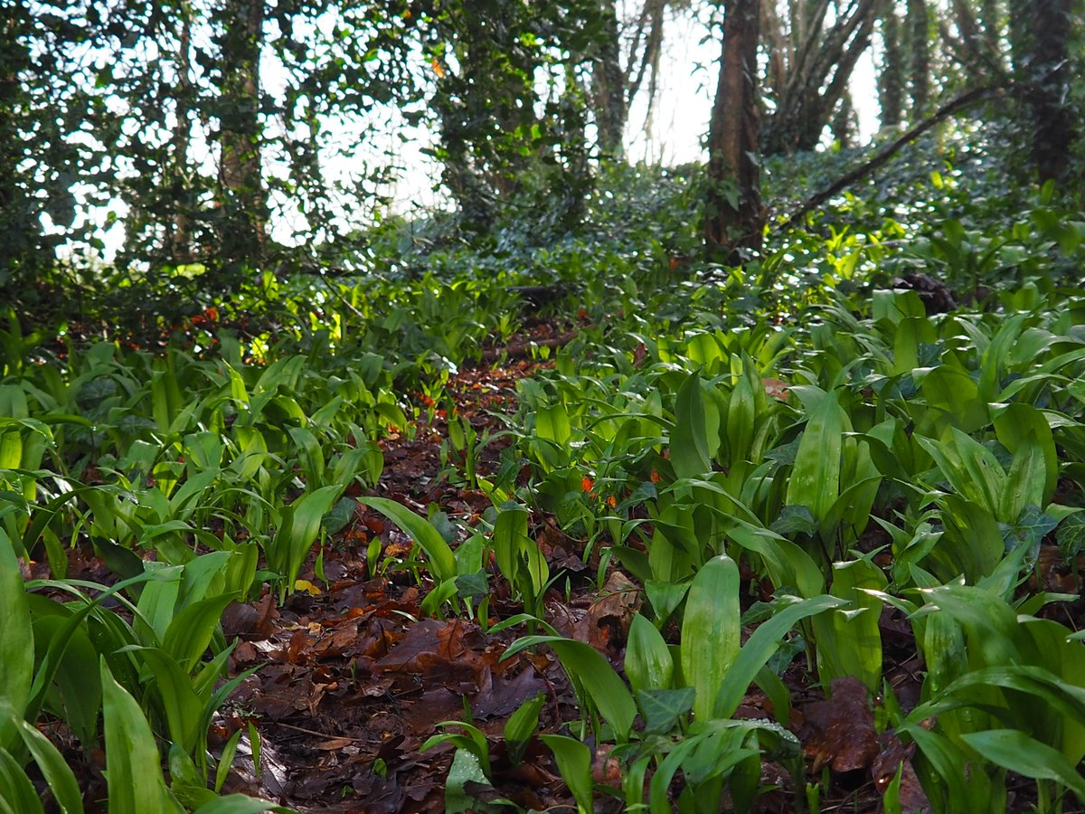 I have a thing about wild garlic, sitting in it does something to my soul. I'm not sure what and I don't think I need to know because I always leave happy and grounded...that's more than enough. #rewildmymind #natureforsoul pic.twitter.com/0DWOeMVduU