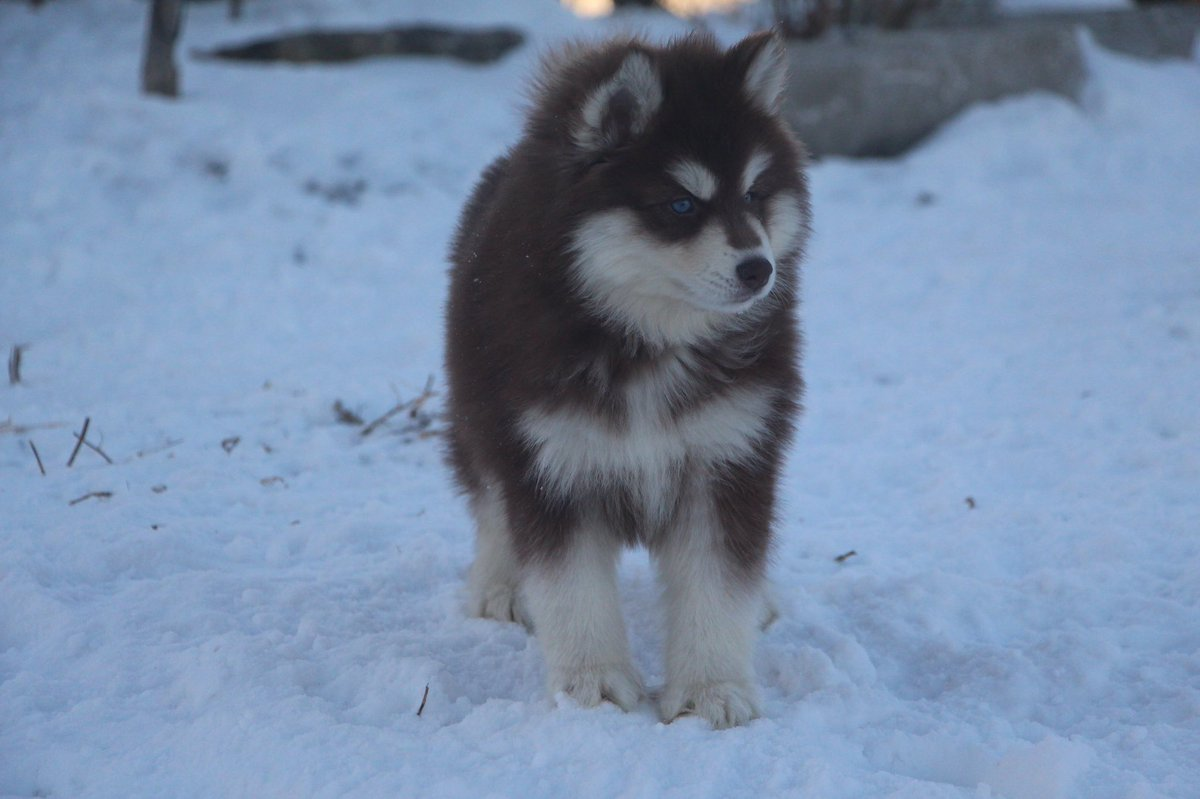 Hillside Huskies On Twitter Meet Coco Our Chocolate Red Wooly Siberian Husky Female Pup Puppy Siberianhusky Breeder Dog