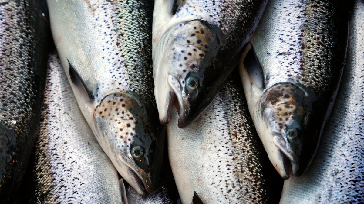 FDA lifts import ban on genetically modified salmon that grows twice as fast http://gizmo.do/lIHn720