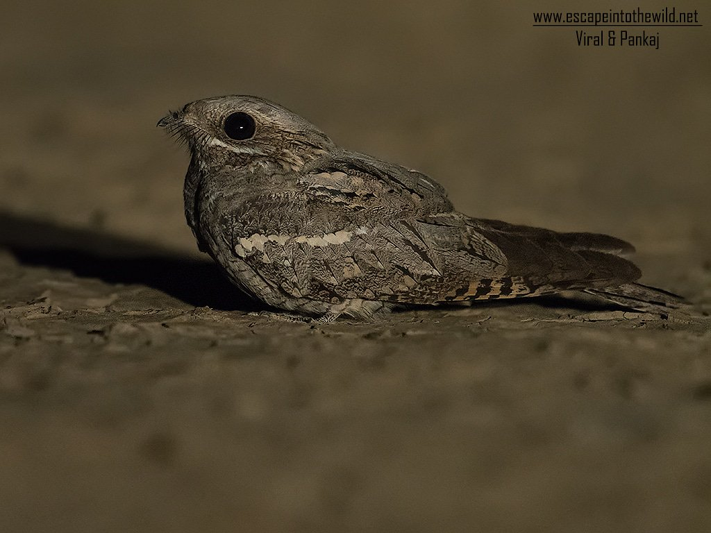 European Nightjar GRK, Kutch, Gujarat, India September 2018  #birds #passagemihrant #pankajmahetia #viralpatel @orientbirdclub