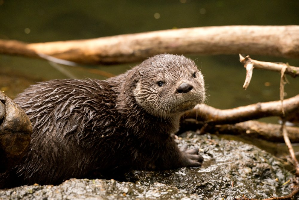 In observance of Daylight Saving Time, here is a resting otter face
