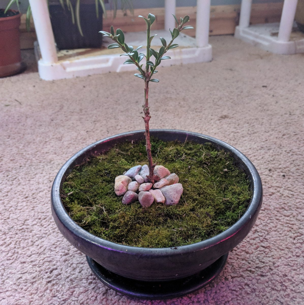 Andrew Natureman On Twitter Boxwood Bonsai I Pruned This Tiny Boxwood Plant Into A Mini Tree With Rocks To Represent Mulch And Live Garden Moss To Represent The Lawn Bonsai Perennial Evergreen