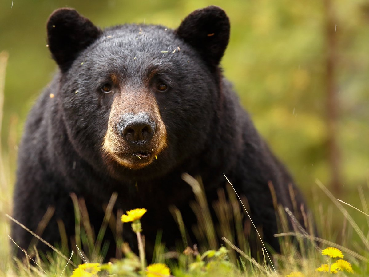 Черный медведь фото животного
