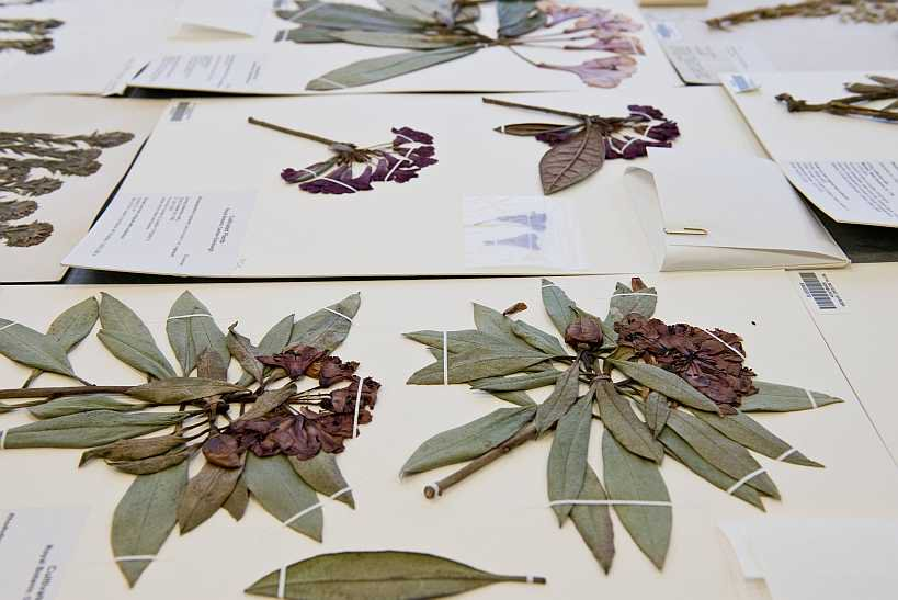 A volunteering opportunity has opened up @RBGE_Herbarium for a Herbarium South Asia Curation Volunteer. To find out more click on the link: https://bit.ly/2TDVkE2 #Volunteer #Curation #Botany #Asia #Herbarium