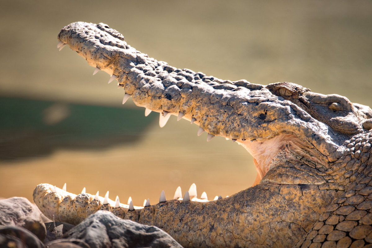 Crocodiles are beautiful animals. They love their partners, they are protective mothers and they are necessary for a healthy ecosystem. YOU can make a difference and help us protect crocs by visiting http://australiazoo.com/petition 🐊💕