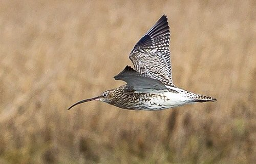 Lovely shot of #curlew at #christchurchharbour this week by CHOG member @HACPIX Listen here for its call  https://www. rspb.org.uk/birds-and-wild life/wildlife-guides/bird-a-z/curlew/  …  #dorsethour<br>http://pic.twitter.com/Ru9uRO8Zj1