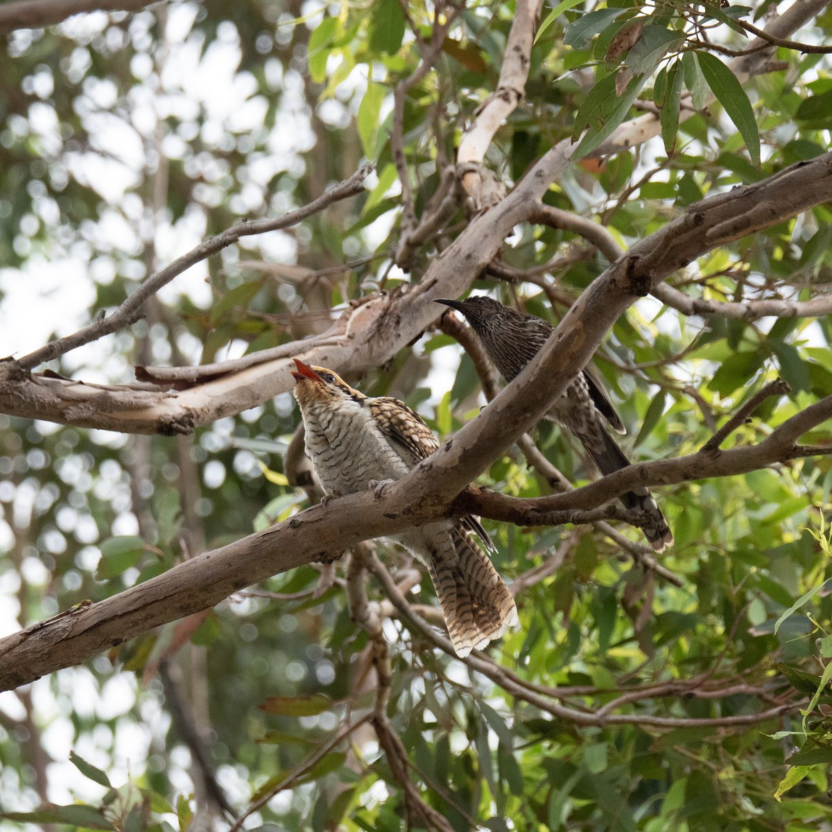fab7e4b2c12f Eastern Koel is a type of brood parasitic Cuckoo