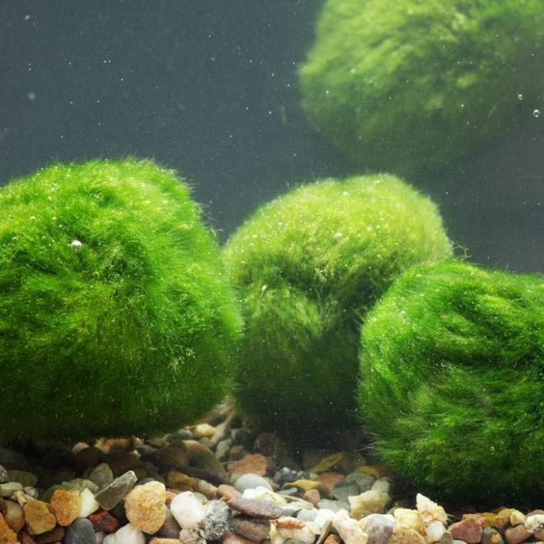 мох в аквариуме виды фото время