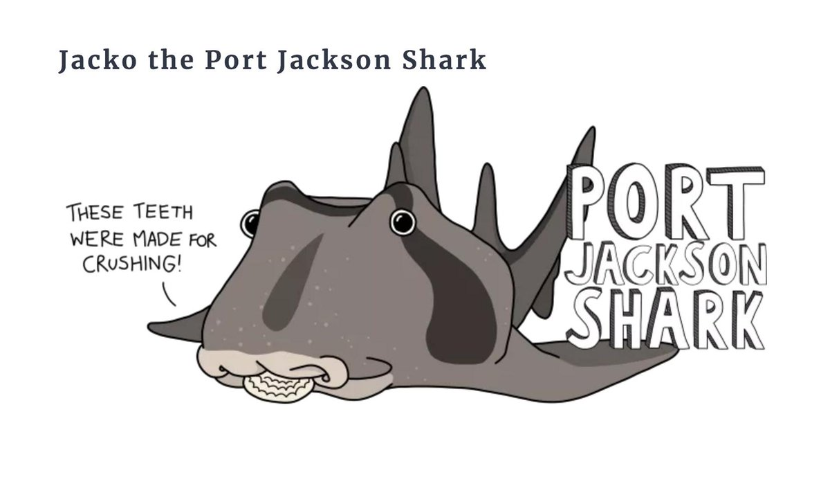 Jacko is shy and likes nothing more than lying under a shelf of rock, crunching up shellfish. With gentle, curious eyes and beautiful thick stripes, Jacko is here to show that there are many kinds of #sharks living in Port Phillip Bay, and most of them are harmless! #lovesharks pic.twitter.com/ymhU4Y49n2
