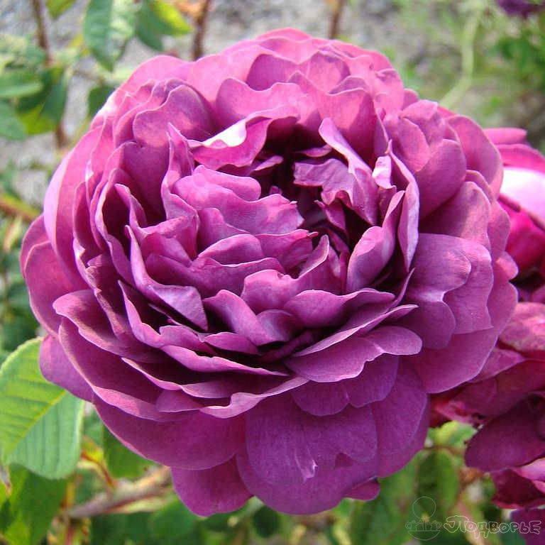 старые сорта роз фото