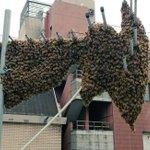 こんなミツバチの群れを見かけたら...殺虫剤を使わないで養蜂場へ連絡を!