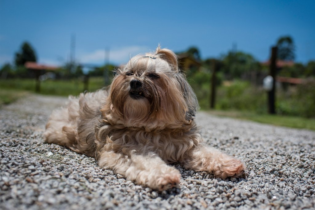 Whiskey Schleder enjoying Rosas's beach  @ironischlederphotography . . . . . #dogs #PraiadoRosa #pet-photography #dog-photography #pet-portrait #dogs #puppies #SC #dog-lifestyle #pet-photographer #dog_of_world #dog-photo #Brazil #puppy #NikonD810 #dogpic.twitter.com/c11aP70hRl