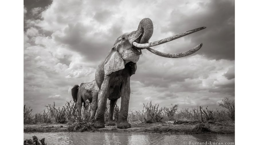 Incredible pictures capture rare 'Elephant Queen' in Kenya  https://t.co/FHZO3r2pVn https://t.co/PUSzI2t4d7