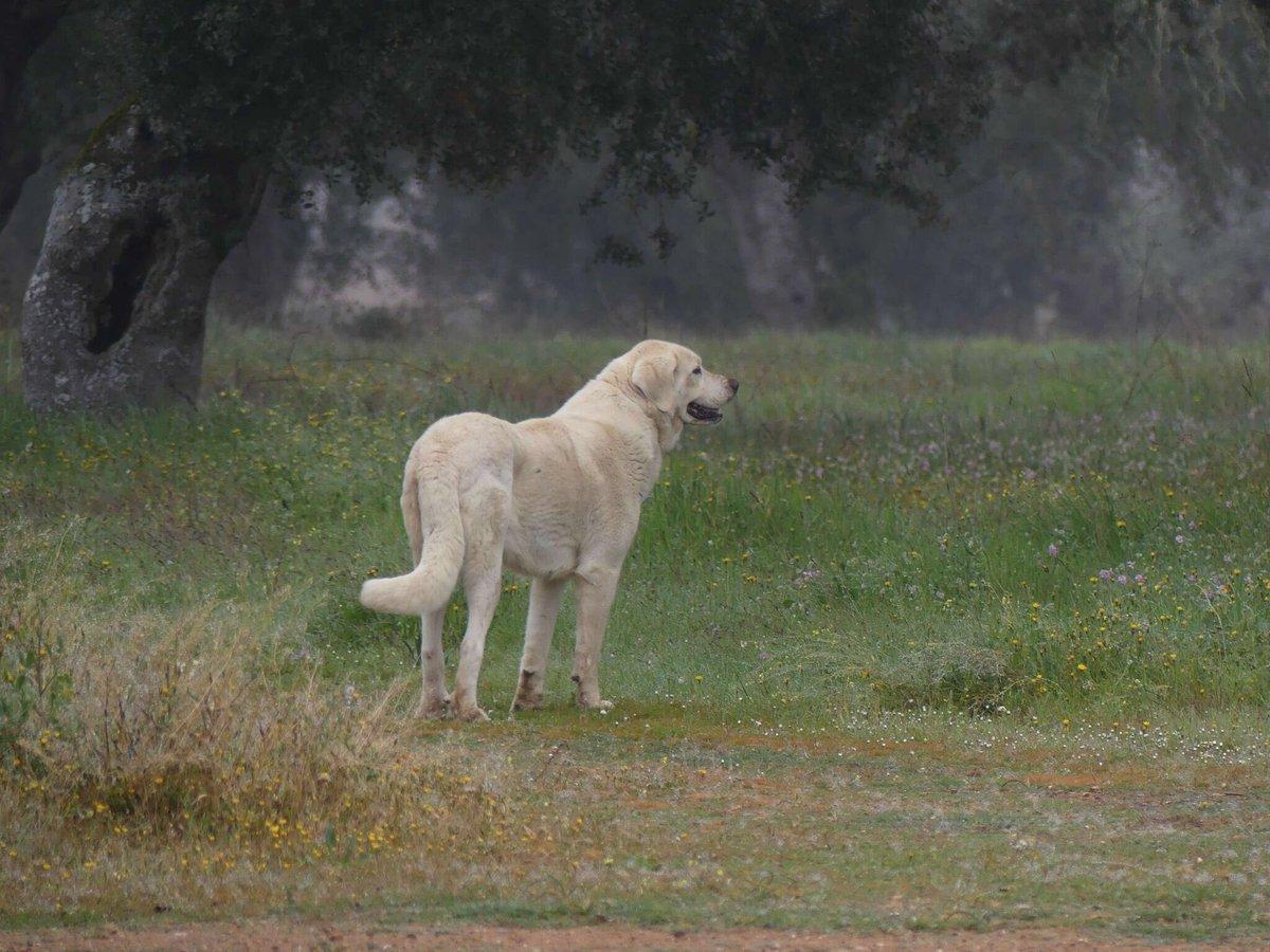 Herdenschutzhund In Spanien Für Die Schafe Und Gegen Den Wolf