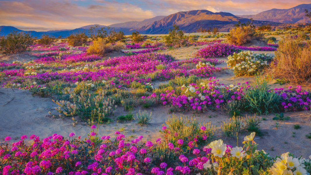 Curious about all the butterflies?  It&#39;s the #superbloom!  All the extra flowers are perfect for migrating painted ladies! #ThursdayThoughts <br>http://pic.twitter.com/757r6kHfcA