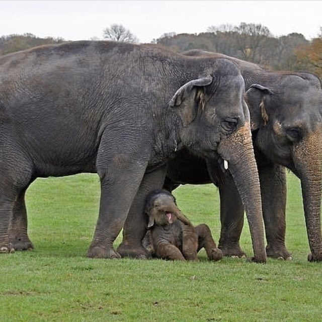 #FridayFeeIing When the grown ups just don't get the joke! #asianelephant #elephantfamily<br>http://pic.twitter.com/m6I5S9ZL32
