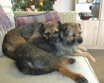 #missing ARCHIE and AMY  #BorderTerriers #Lost 13 Mar 2019 From Codden Hill #BishopsTawton #EX32 #Devon These two are lost together, hopefully stayed together. Please contact with any sign. #BTPosse #missingdog   https:// doglost.co.uk/dog-blog.php?d ogId=141454&amp;follow=y &nbsp; … <br>http://pic.twitter.com/hNbCpYfset