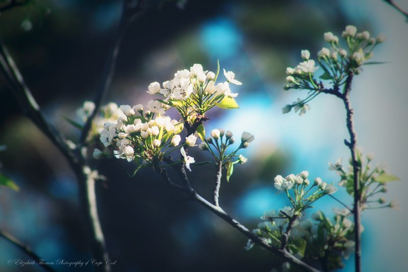 Liz Thomas on Twitter: FLOWER Photography - Pear Tree FLOWER Art, Nature Photo, Scenic Print, Romantic Art, Spring, Summer Photography